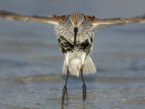 Dunlin in Breeding Plumage Jumping from Water after Bathing  Calidris Alpina  Florida  USA