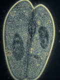 Paramecium Caudatum Ciliate Protozoa Conjugation or Sexual Reproduction Phase Contrast