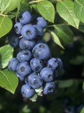 Blueberries  'North Blue' Variety