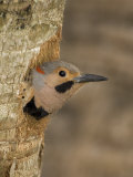 Male Northern Flicker  Colaptes Auratus  in Breeding Plumage at the Nest Hole North America