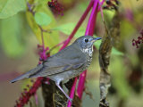 Gray-Cheeked Thrush (Catharus Minimus)  North America