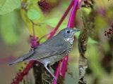 Gray-Cheeked Thrush (Catharus Minimus)  North America