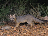 Gray Fox  Urocyon Cinereoargenteus  North America
