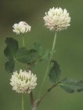 White Clover Flowers  Trifolium Repens  North America