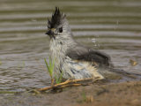 Black-Crested Titmouse Bathing  Baeolophus Atricristatus  Texas  USA