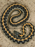 Black-Necked Gartersnake    Thamnophis Siirtalis Occellata  Young Speciman  USA