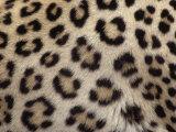 Leopard Skin Showing its Spots  Panthera Pardus  Masai Mara  Kenya  Africa