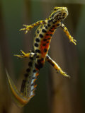 Smooth Newt Swimming Underwater (Triturus Vulgaris)  Germany