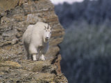 Mountain Goat  Oreamnos Americanus  on a Steep Mountain Cliff  Rocky Mountains  North America