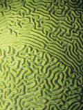 Symmetrical Brain Coral  Diploria Strigosa  with Zooanthellae or Symbiotic Algae  Belize  Caribbean