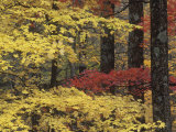 Autumn Colors in the Eastern Deciduous Forest of the Great Smoky Mountains  Tennessee  USA
