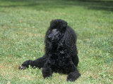 Standard Poodle  Black  Variety of Domestic Dog