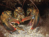American Lobster Head  Homarus Americanis  Atlantic Coast of North America