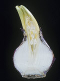 Dutch or Garden Hyacinth Sectioned to Show the Flower Bud  Hyacinthus Orientalis  Liliaceae