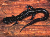 Cumberland Slimy Salamander (Plethodon Kentucki)  Eastern USA