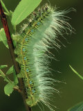 Atlas Moth Larva or Caterpillar (Dictyoploca Simla)  Family Saturniidae  India