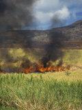 Burning Sugar Cane Field at Harvest Time