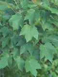 Leaves of Red Maple Tree  Acer Rubrum  North Carolina  USA