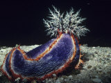 Sea Cucumber with Feeding Tentacles Extended  Pseudocolochirus  Australia