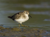 Least Sandpiper (Calidris Minutilla)  USA