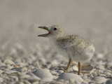 Black Skimmer  Rynchops Niger  Chick Calling on the Beach  Southern USA