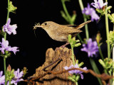 House Wren (Troglodytes Aedon) on a Fencepost with an Insect in its Bill