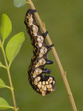 Owl Moth Caterpillar Crawling on a Twig (Brahmaea Certhia)