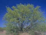 Velvet Mesquite Tree  Prosopis Velutina  Sonoran Desert  Arizona  USA