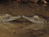 Two Baby Nile Crocodiles  Crocodylus Niloticus  East Africa