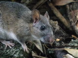 Key Largo Wood Rat or Packrat (Neotoma Floridana Smalli)  an Endangered Species  Florida  USA