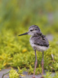 Young Black-Necked Stilt  Himantopus Mexicanus  California  USA
