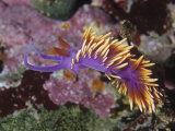 Spanish Shawl Nudibranch (Flabellina Iodinea)  Canada to Northern Mexico  Pacific Ocean