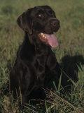 Chocolate Labrador Retriever Sitting in Field