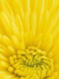 Close-Up of a Yellow Chrysanthemum Flower