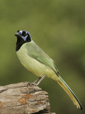 Green Jay  Cyanocorax Yncas  Texas  USA