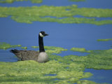 Canada Goose in a Eutrophic Pond  Branta Canadensis  North America