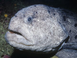 Wolf-Eel Head (Acarrhicthys Ocellatus) Alaska to Southern California  USA