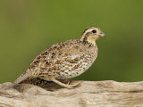 Northern Bobwhite  Colinus Virginianus  Female  Eastern USA