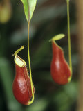 A Pitcher Plant  Nepenthes Coccinea
