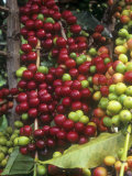 Kona Coffee Beans Ripening  Hawaii  USA