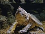 Alligator Snapping Turtle  Macroclemys Temminckii   Captive