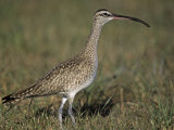 Whimbrel  Numenius Phaeopus  Florida  USA