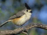Black-Crested or Mexican Titmouse  Baleolophus Atricristatus  Texas  USA