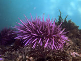 Purple Sea Urchin  Strongylocentrotus Purpuratus  Pacific Coast of North America