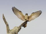 American Kestrel  Falco Sparverius  Female Landing  North America