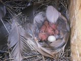 Tree Swallow Nest with Hatchlings and an Unhatched Egg  Tachycineta Bicolor  North America