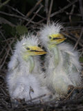 Great Egret Chicks in the Nest  Ardea Alba   Southeastern USA