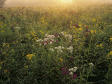 Backlit Field of Ironweed  Sneezeweed  and Alternate Leaved Wingstem Wildflowers  Kentucky  USA