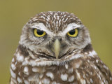 Burrowing Owl Head  Athene Cunicularia  Florida  USA