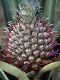 Close Up of Pineapple  Ananas Comosus  in Leaves